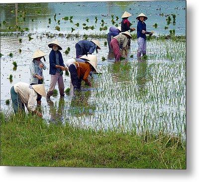 Planting Rice Metal Print