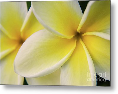 Plumeria Flowers Metal Print by Julia Hiebaum