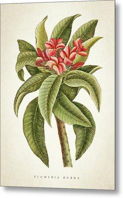 Plumeria Rubra Botanical Print Metal Print by Aged Pixel