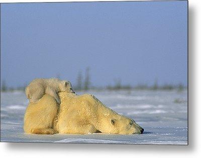 Polar Bear And Her Cub Resting Metal Print by Norbert Rosing