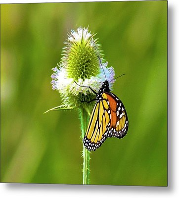 Polka Dotted Butterfly Metal Print