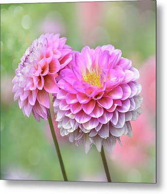 Metal Print featuring the photograph Pompon Dahlias by John Poon