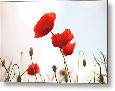 Poppies Metal Print by Olivia Bell Photography