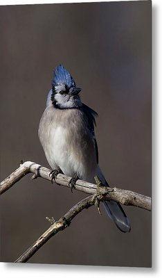 Portrait Of A Bluejay Metal Print by Frances Maas