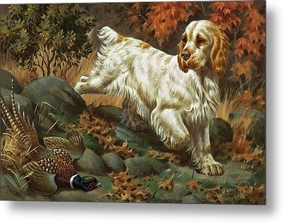 Portrait Of A Clumber Spaniel Hunting Metal Print by Walter A. Weber