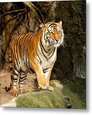 Portrait Of A Royal Bengal Tiger Metal Print