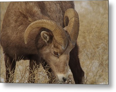 Portrait Of A Young Ram Metal Print by Jeff Swan