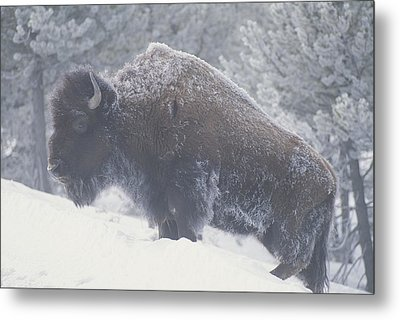 Portrait Of An American Bison Metal Print by Michael Melford
