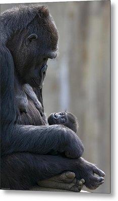 Portrait Of Gorilla Mother Looking Metal Print by Karine Aigner