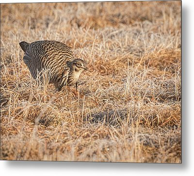 Metal Print featuring the photograph Prairie Chicken 11-2015 by Thomas Young