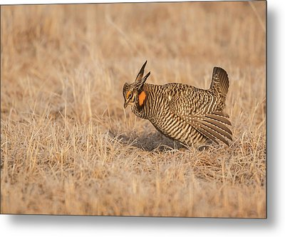 Metal Print featuring the photograph Prairie Chicken 8-2015 by Thomas Young