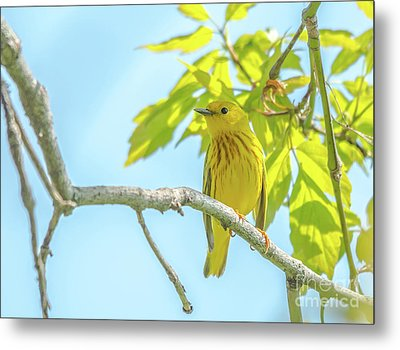 Pretty Yellow Warbler Metal Print