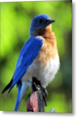 Proud Bluebird Out Kitchen Window Metal Print