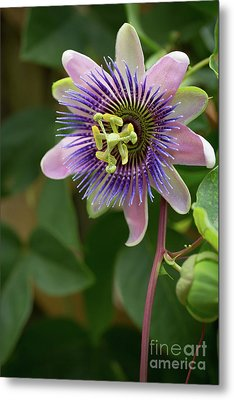 Purple And Pink Passion Metal Print