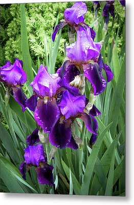 Purple Bearded Irises Metal Print by Penny Lisowski