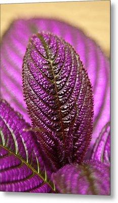 Purple Coleus Metal Print by Carolyn Marshall