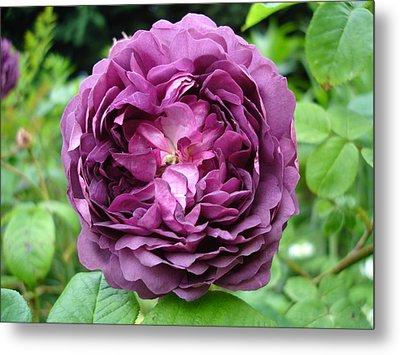 Purple English Rose Metal Print