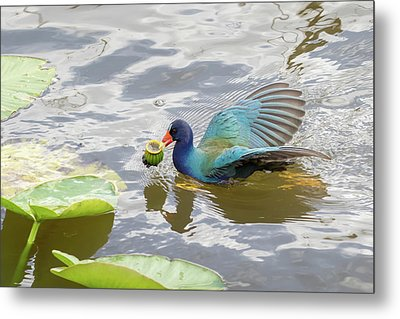 Purple Gallinule Metal Print