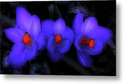 Beautiful Blue Purple Spring Crocus Blooms Metal Print by Shelley Neff