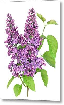 Purple  Lilac Isolated Branch Metal Print by Aleksandr Volkov