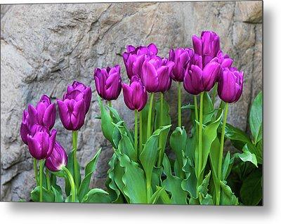 Purple Tulips Metal Print by Tom Mc Nemar