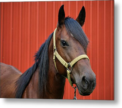 Quarter Horse Metal Print by Sandy Keeton