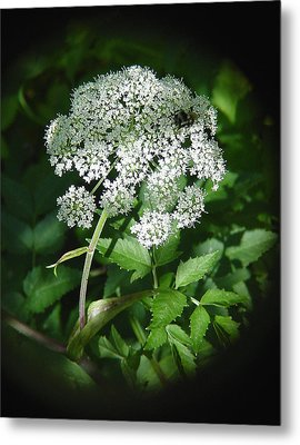 Queen Ann Lace Metal Print