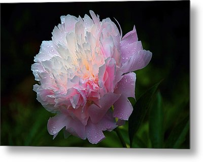 Metal Print featuring the photograph Rain-kissed Peony by Byron Varvarigos