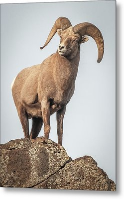 Metal Print featuring the photograph Ram Of The Rio Grande by Britt Runyon