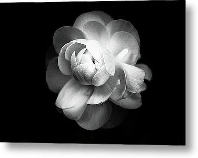 Ranunculus Flower Metal Print by Annfrau