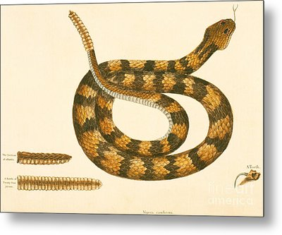 Rattlesnake Metal Print by Mark Catesby