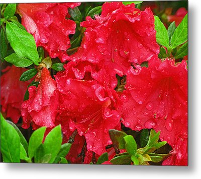 Red Azaleas Metal Print by Richard Singleton