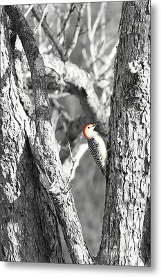 Metal Print featuring the photograph Red-bellied Woodpecker by Benanne Stiens