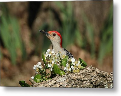 Red-bellied Woodpecker In Spring Metal Print