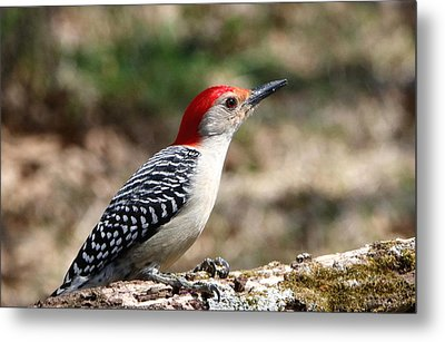 Red-bellied Woodpecker Metal Print