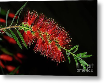Metal Print featuring the photograph Red Bottlebrush By Kaye Menner by Kaye Menner