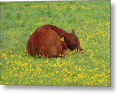 Red Calf In The Buttercup Meadow Metal Print