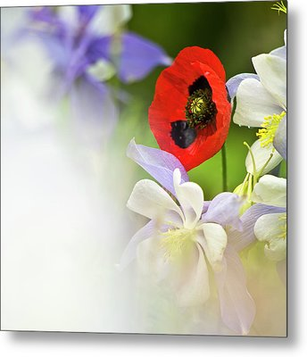 Red Corn Poppy Metal Print by Heiko Koehrer-Wagner