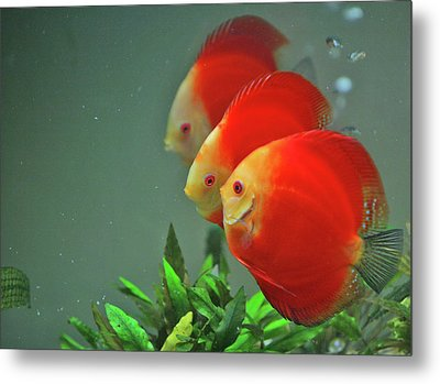 Red Fish Metal Print by Vietnam