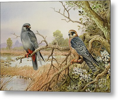 Red-footed Falcons Metal Print by Carl Donner