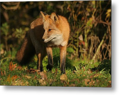 Metal Print featuring the photograph Red Fox by Doris Potter