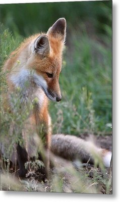 Red Fox Pup Outside Its Den Metal Print by Mark Duffy