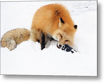 Red Fox To Base Metal Print