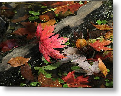 Metal Print featuring the photograph Red Maple Leaf In Pond by Doris Potter