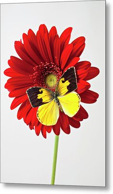 Red Mum With Dogface Butterfly Metal Print by Garry Gay