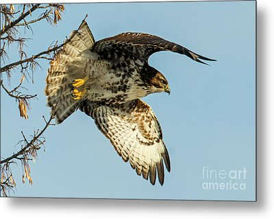 Red-tail  Takeoff Metal Print by Mike Dawson