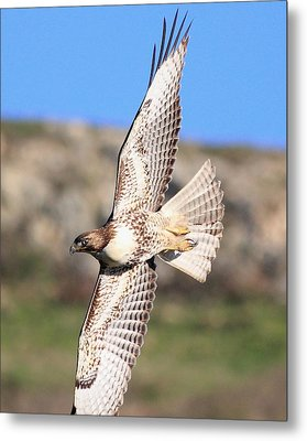 Red Tailed Hawk - 20100101-8 Metal Print by Wingsdomain Art and Photography