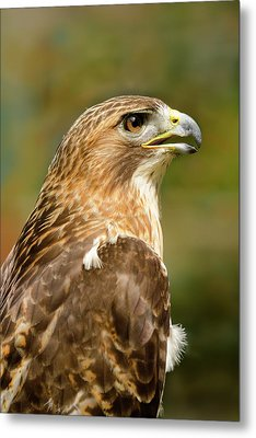 Red-tailed Hawk Close-up Metal Print by Ann Bridges