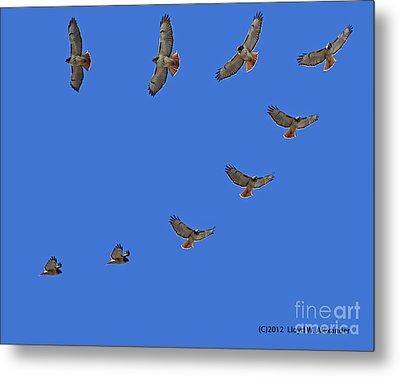 Red Tailed Hawk In Flight Metal Print