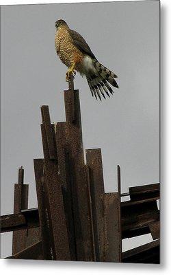 Red-tailed Hawk Metal Print by Vari Buendia